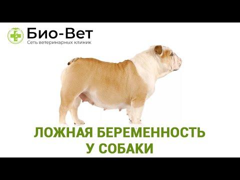 Ложная Беременность у Собак // Симптомы, Лечение и Что Делать // Сеть Ветклиник БИО-ВЕТ