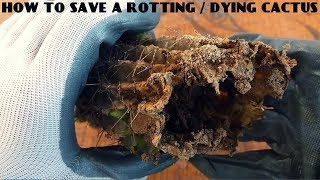 How to Save a Rotting/Dying cactus(100% SURE RESULT)