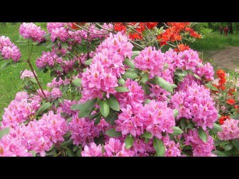 Самые красивые и зимостойкие рододендроны ( азалии) для вашего сада