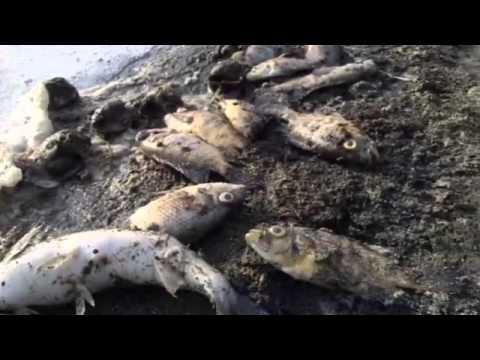 Impresionante mortandad de peces en Malambo