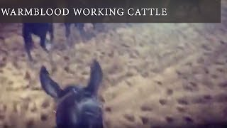 Working Cattle with a Warmblood