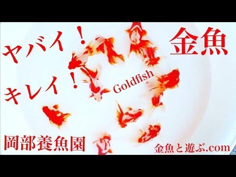 美しすぎる金魚 岡部養魚園より東錦・江戸錦・琉金 Goldfish New Arrival