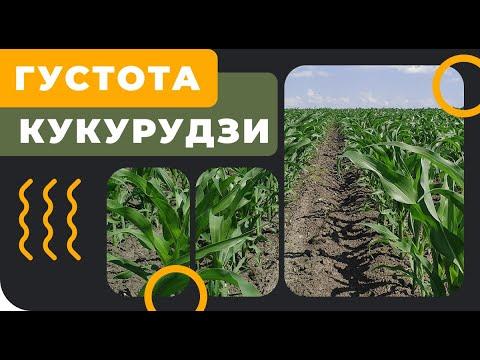 Густота посева кукурузы