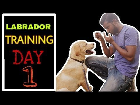 Labrador Training - Day 1 || Best way to train your dog 2020 Hindi ...