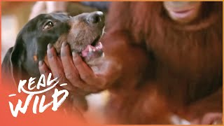 Orangutan Adopts A Dog | Wild Things
