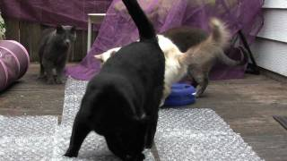 Смотреть онлайн Кошки ходят по полиэтилену с пупырышками