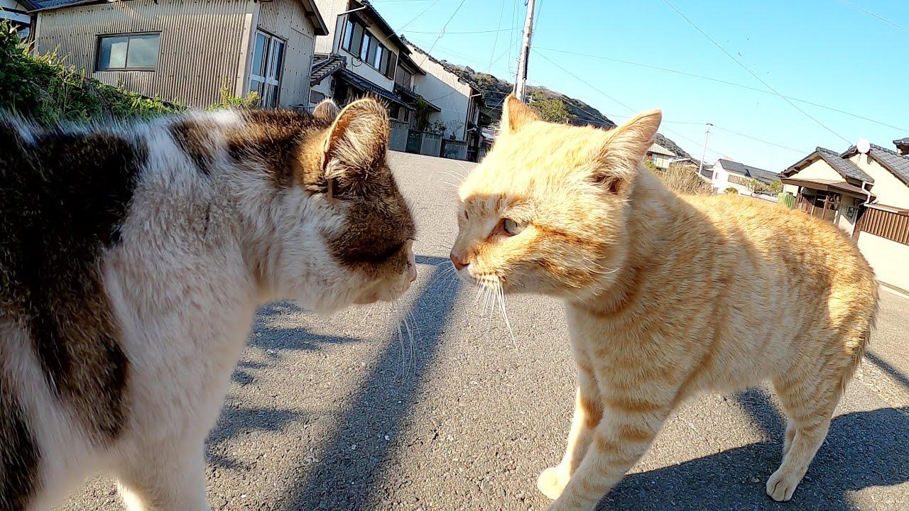 猫集会の最中に口喧嘩を始める茶トラ猫とキジシロ猫
