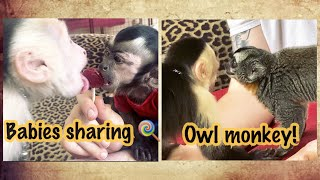 Capuchin Monkeys meet OWL monkey and share a lollipop!