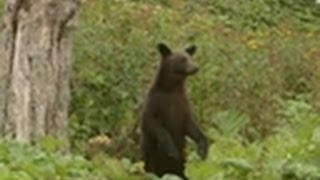 Black Bear - Relationship with Humans