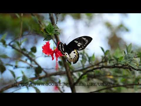 チトヌストリバネアゲハの♀の飛翔 Ornithoptera tithonus