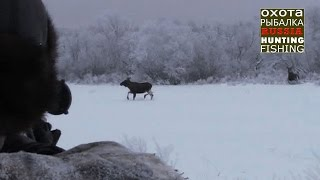 Смотреть онлайн Охота на лося зимой с подхода и на загон