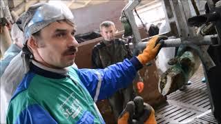 Обрезка копыт у коров: пошаговая инструкция с фото и видео