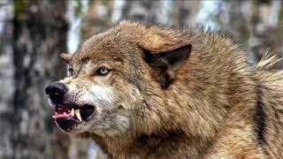 ✵ Волк ✵   А У Е