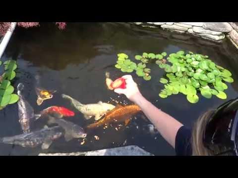 Koi Fish Feeding Time. Back yard pond. Very relaxing.