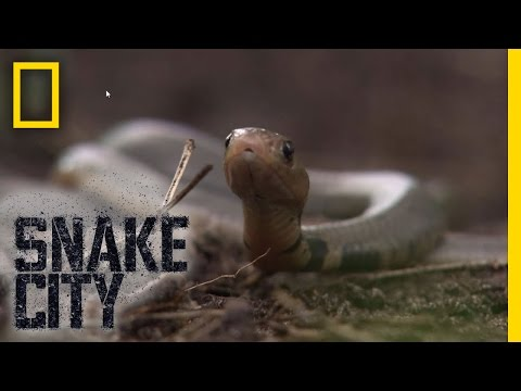 Birthing Baby Cobras   Snake City