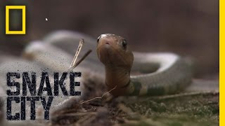 Birthing Baby Cobras   Snake City - Video Youtube