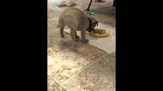 "Houston, We have Lift off/Tiny Pug Puppy ""flips"" over his dinner"