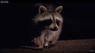 Raccoon - Urban Habitat