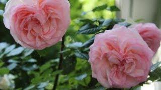 David Austin English Roses Handbook 2019 | Pleasant Sights And Good Reports! | Catherines Garden