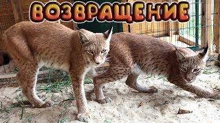 Returning lynxes!