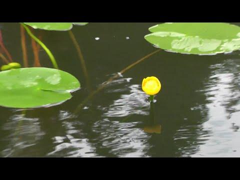 Кувшинка желтая (Кубышка жёлтая) видео