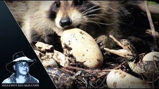 Raccoons Kits Eat Alligator Eggs 01