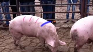 Basics of livestock judging
