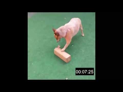 Desafio Alimentar e Cognitivo para cães