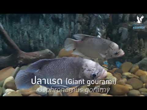 ปลาแรด คลินิคปลาสวยงาม