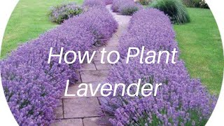 How to Plant Lavender