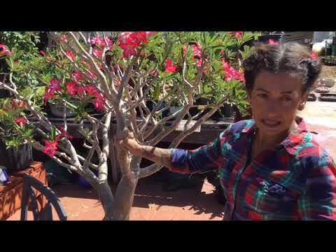 When and where to start trimming your desert roses