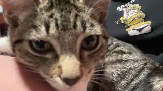 Domestic Mediumhair Cats Videos