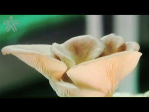 El hongo sobre la uña del pie el barniz