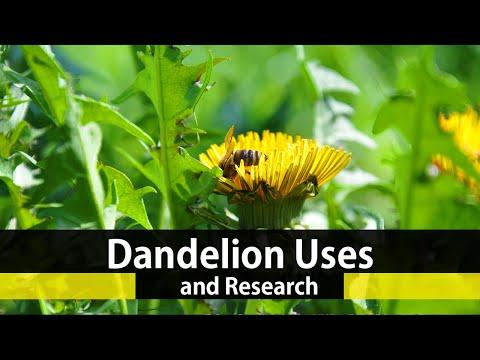 Video The Health Benefits Of Dandelion