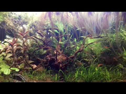 60l 12 Hyphessobricon amandae