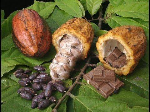 Cómo sembrar y convertir el cacao en chocolate - TvAgro, por Juan Gonzalo Ángel