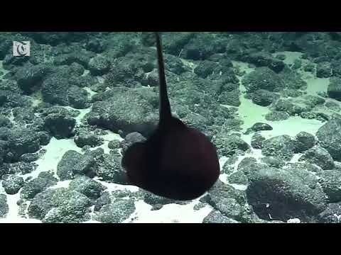Rare gulper eel wows scientists
