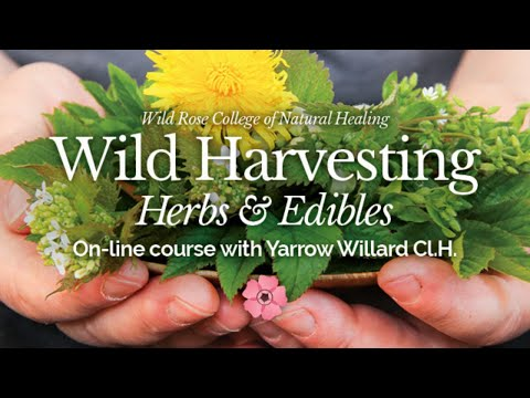 Wild Harvesting Online Course with Herbalist Yarrow Willard