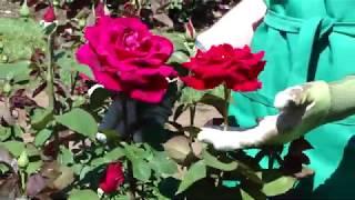 Mr  Lincoln, Hybrid Tea Rose