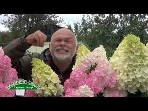Выращивание метельчатой гортензии на карбонатных почвах, удобрение Органик микс для гортензий