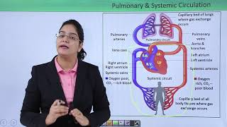 Circulatory System - Double circulation