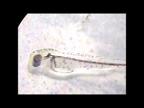 La lamblia au microscope