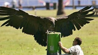 Man Raises Condor Later, This Bird Returns And Show Its True Strength