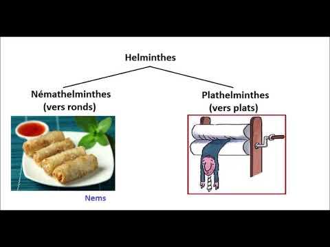 Összeállítja a kerekféreg fejlesztési ciklusát
