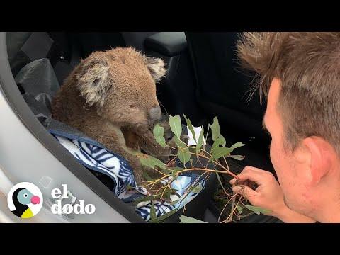Koala Hambriento Le Pide Ayuda a Una Pareja