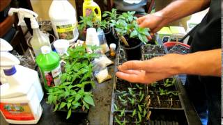 A Complete Guide to Starting Peppers Indoors: See Description for a Digital Table of Contents
