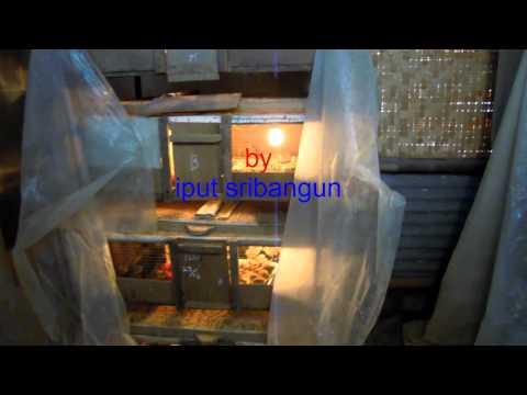 Video cara pembesaran puyuh yang minim kematian