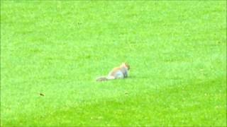 preview picture of video '13/14 Squirrel Pitch Invasion - QPR v Leicester (Loftus Road) 21.12.2013'