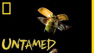 This Beetle Is So Metal | Untamed