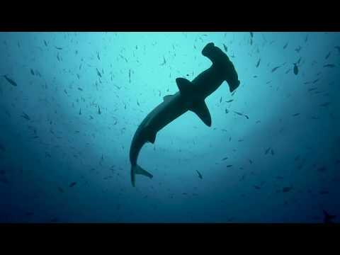 Bogenstirn-Hammerhai in Ecuador